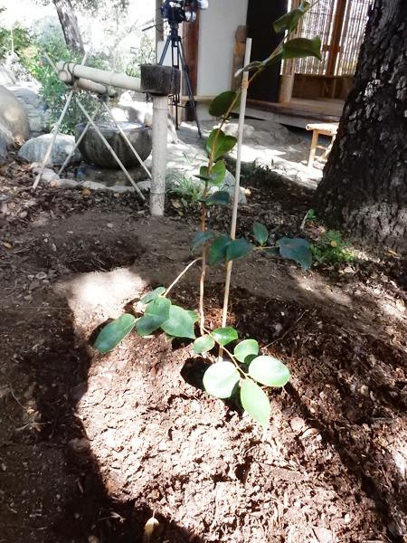 広島から来たツバキの苗木