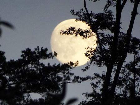 写真 7 = 陸前高田・普門寺の境内から見る。古杉の間から月明かりが洩れる。