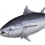 20120601 Maguro Tuna